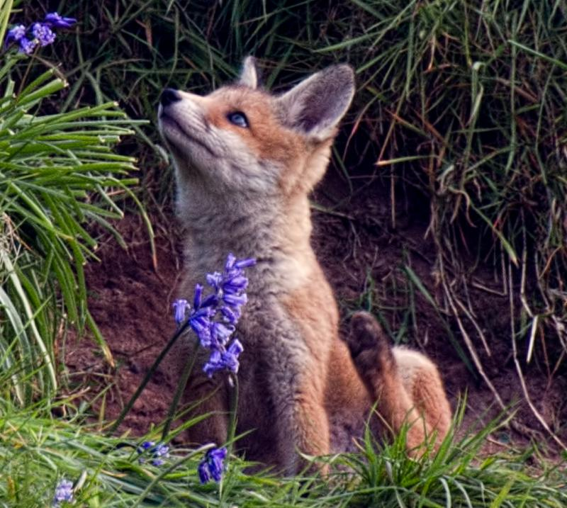 Baby Fox with Flower