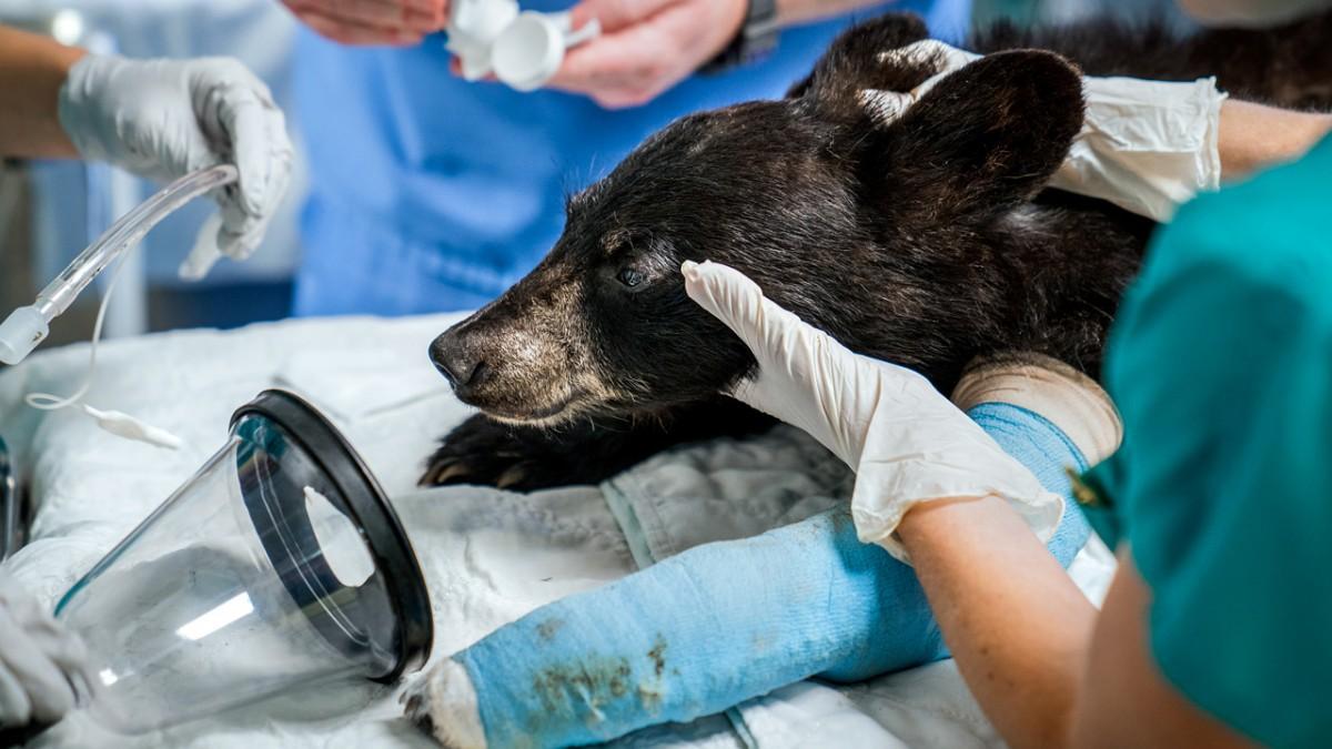 Black bear receiving treatment