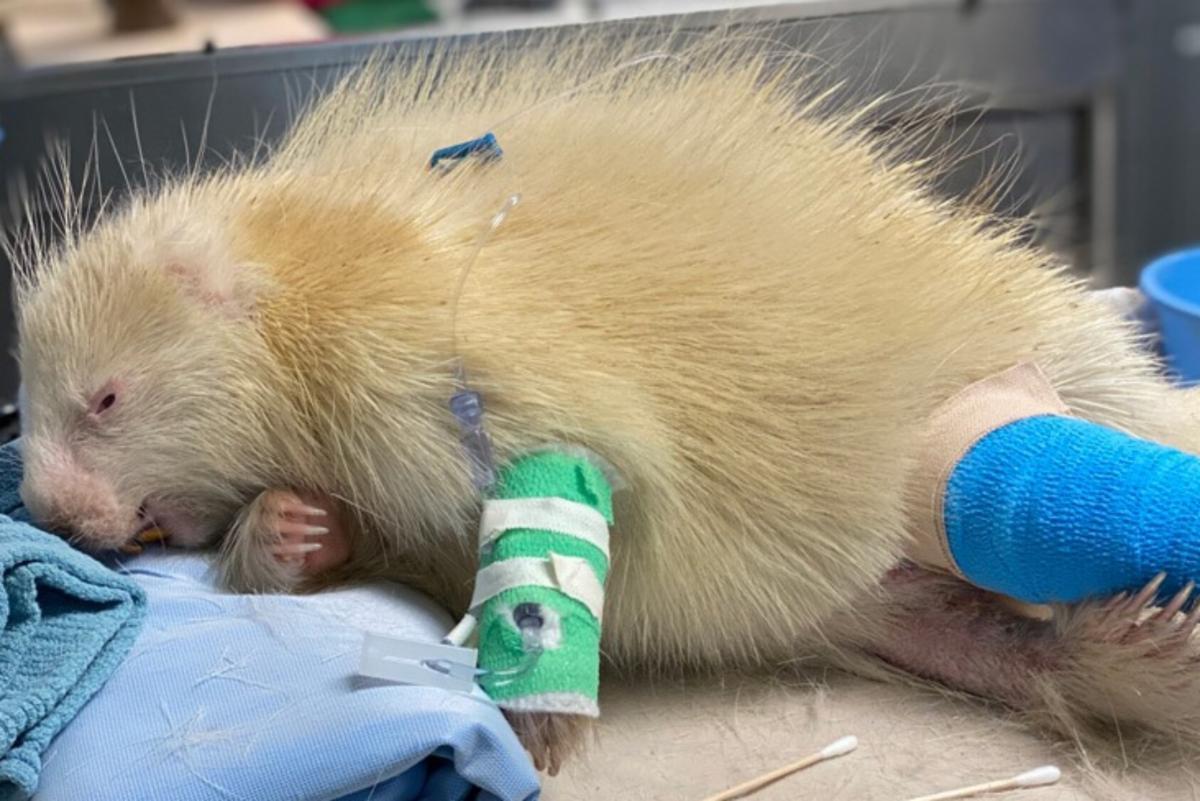Albino porcupine receiving treatment