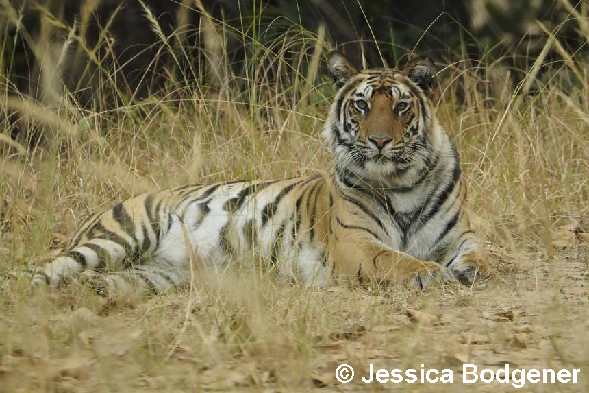 Bengal tiger laying in grass
