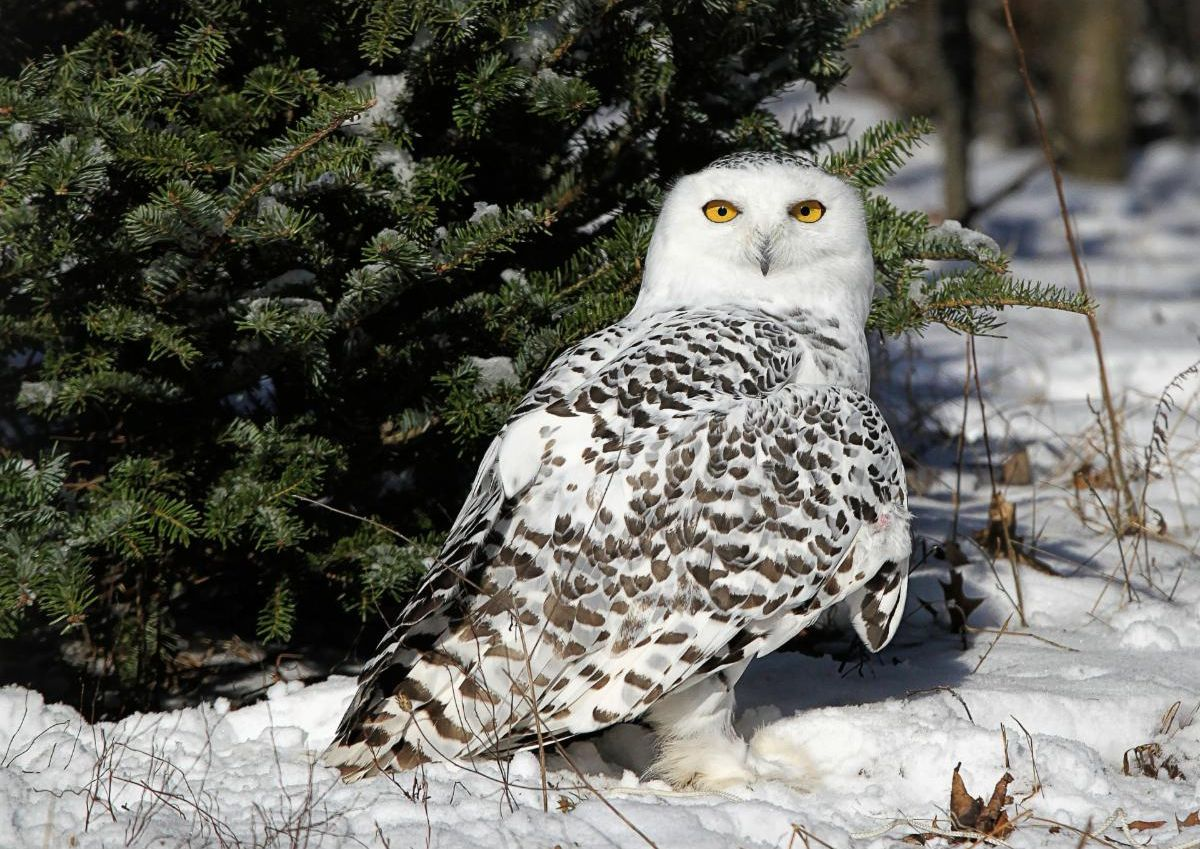 Snowy owl standing in snow in front of tree