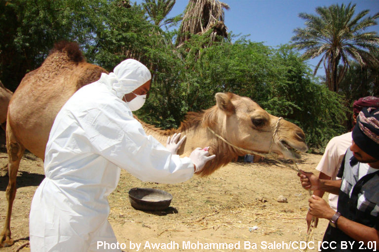 Veterinarian takes samples from a camel