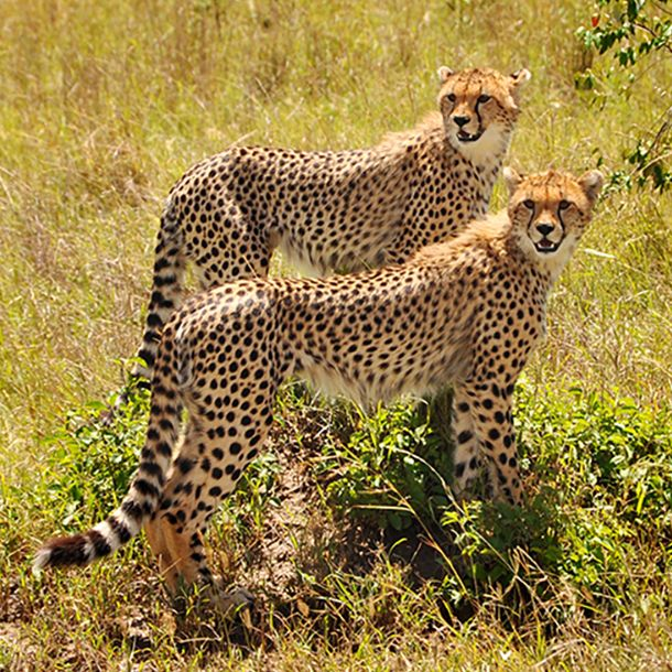 Two cheetahs standing together