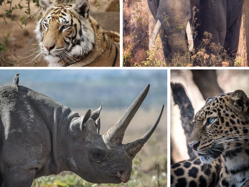 Endangered wildlife collage