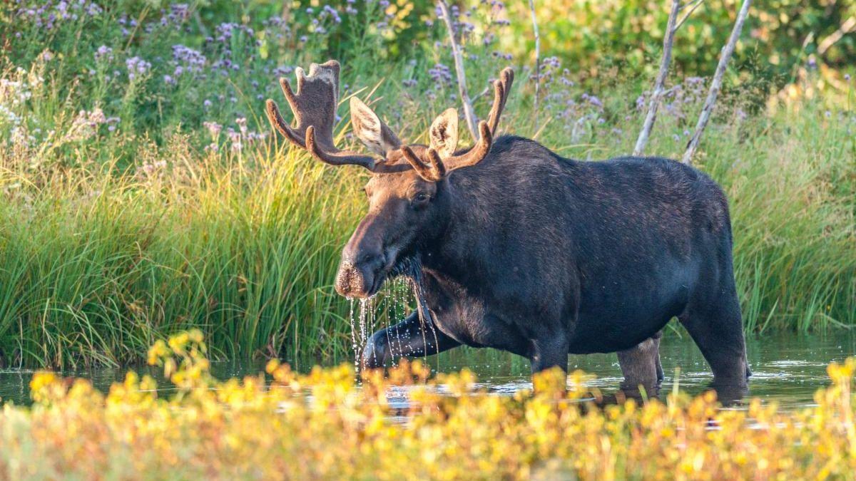 Moose walking in water
