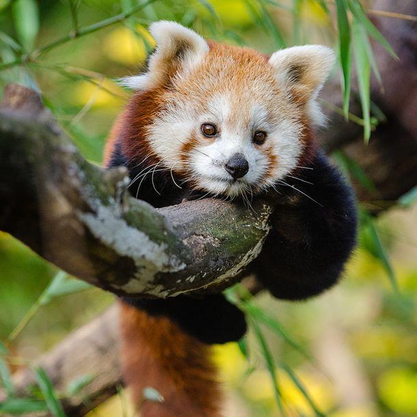 Red panda laying on tree branch