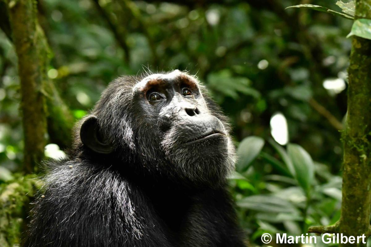 Chimpanzee profile