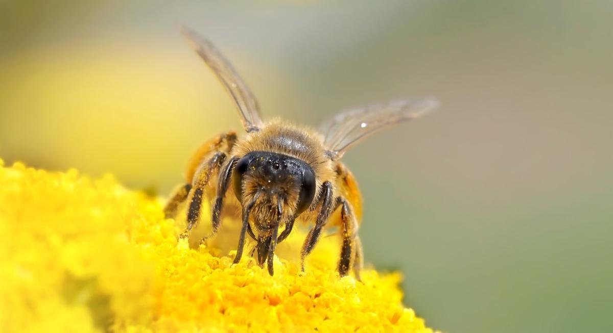 Wild bee collecting pollen on flower