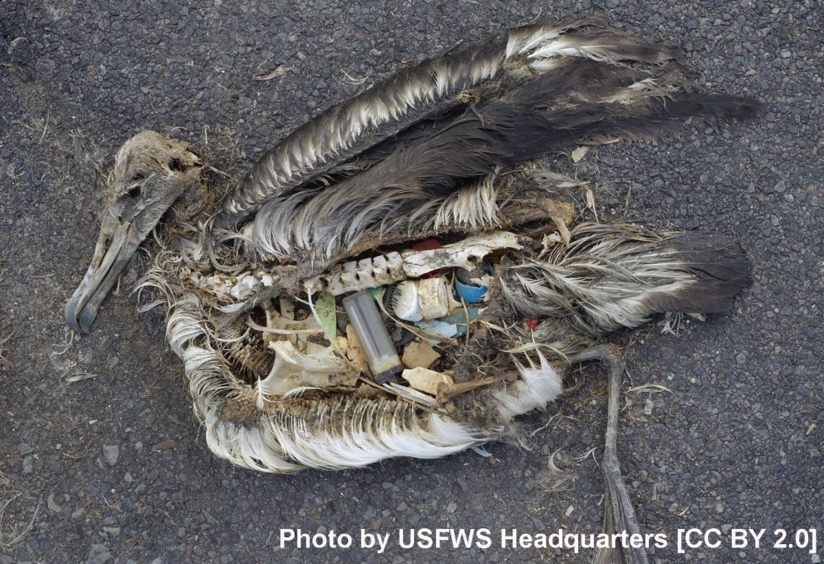 Albatross carcass filled with plastic
