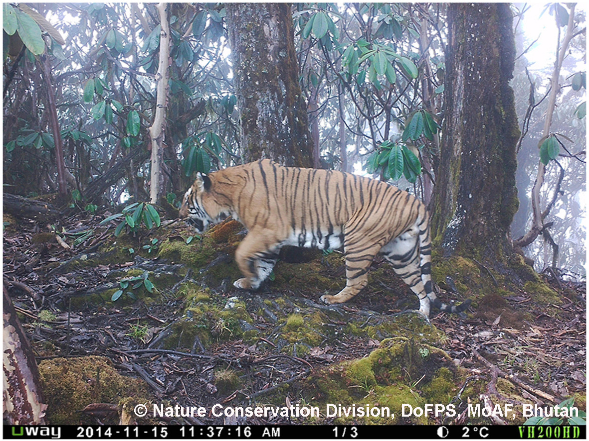 Tiger photo from camera trap