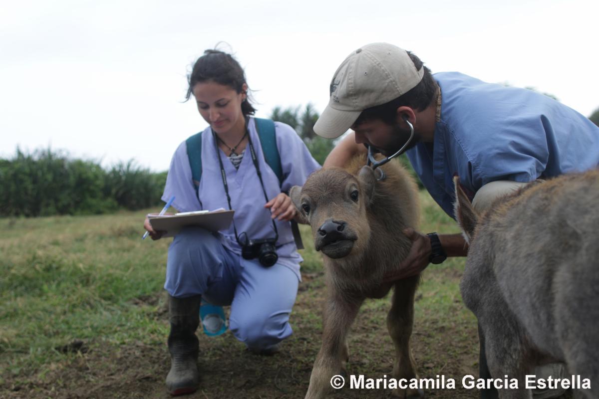 Mariacamila Garcia Estrella collecting samples from livestock in the field