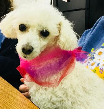 Madonna- a fluffy white poodle wearing a pink and purple bow