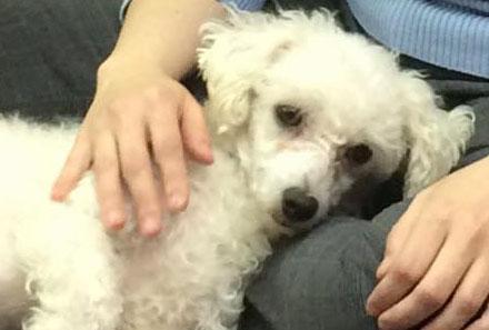 Madonna- a small, furry, white dog