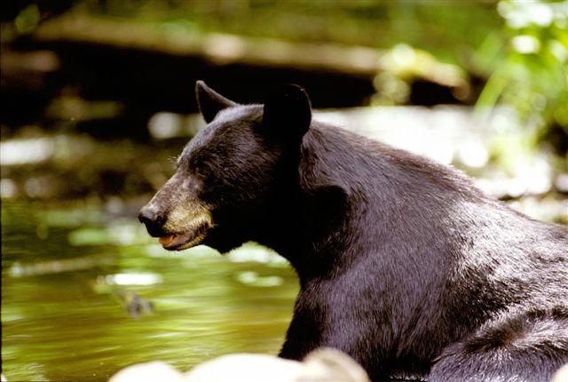 Black bear at water