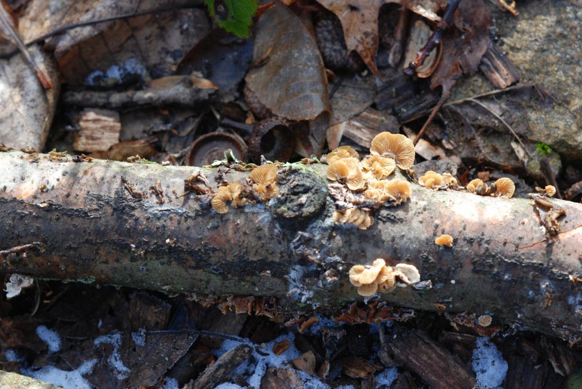 Lee Garden mushrooms