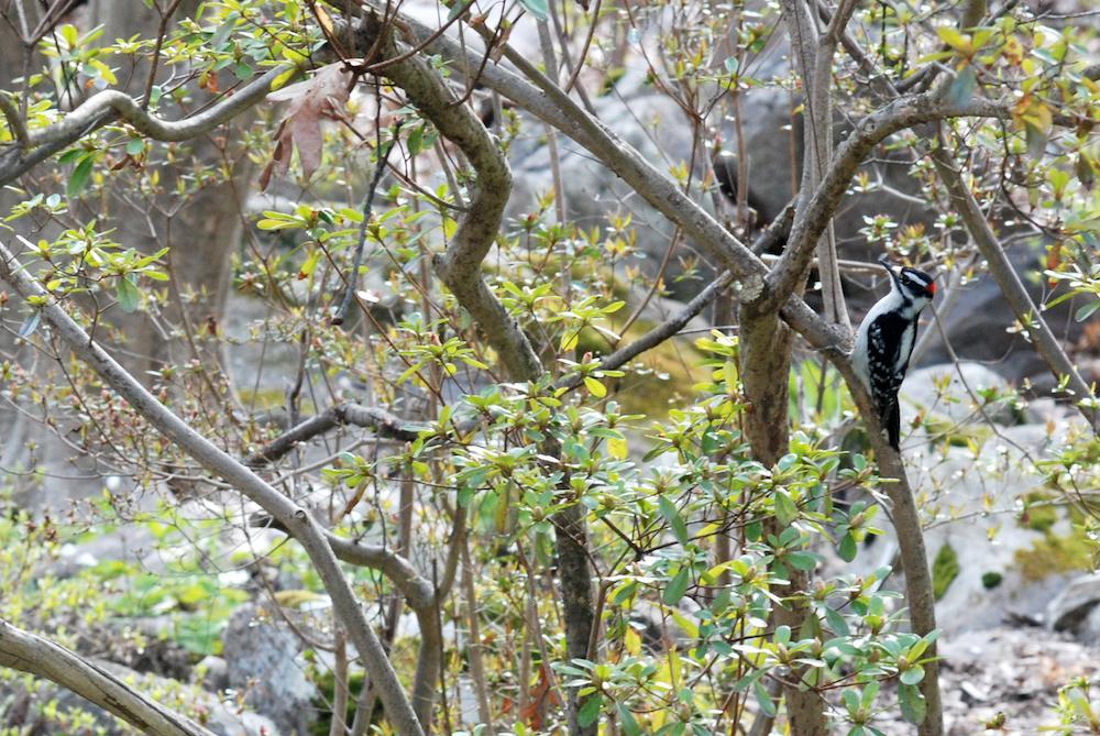 Downy Woodpecker lee 2020