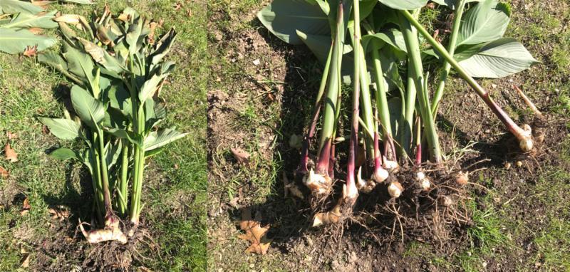 Canna lily dug up