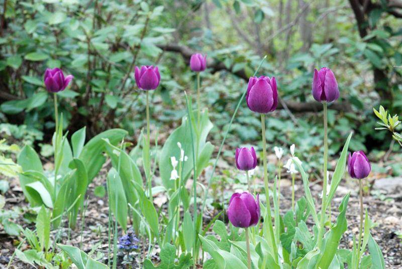 Lee Garden purple tulips