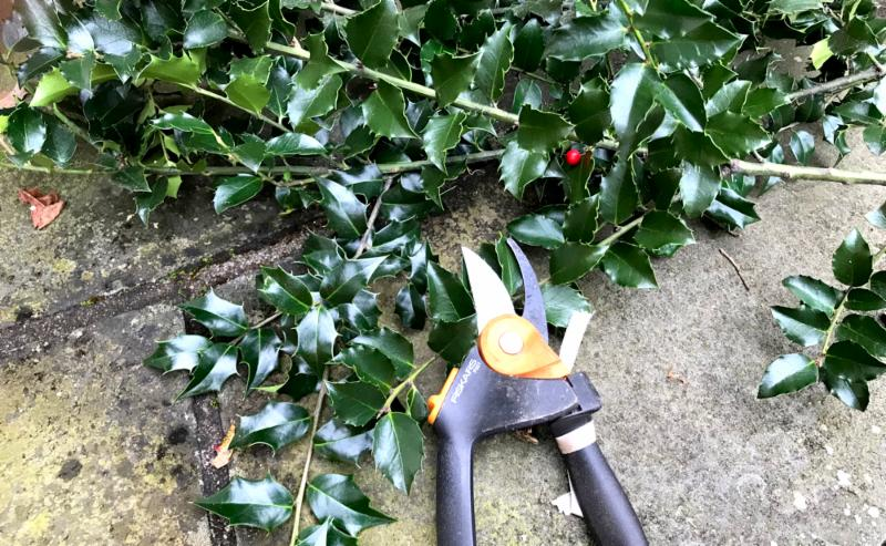 Holly trimming
