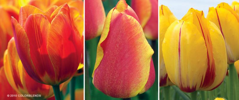 Red Yellow Cubed Series Tulips