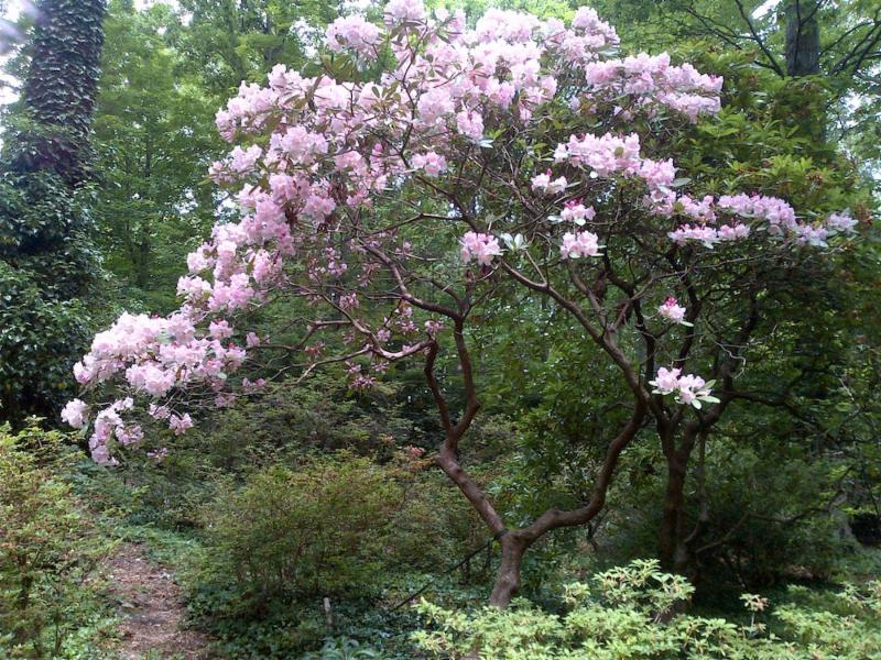 Rhododendron fortunei 'Lu Shan'