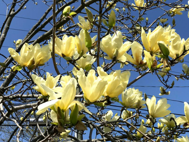 Train Station yellow magnolia