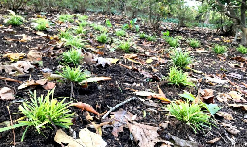 Sedge planted at Lee