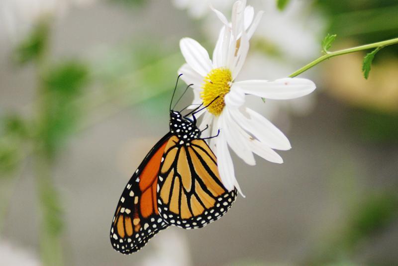 monarch on sheffield