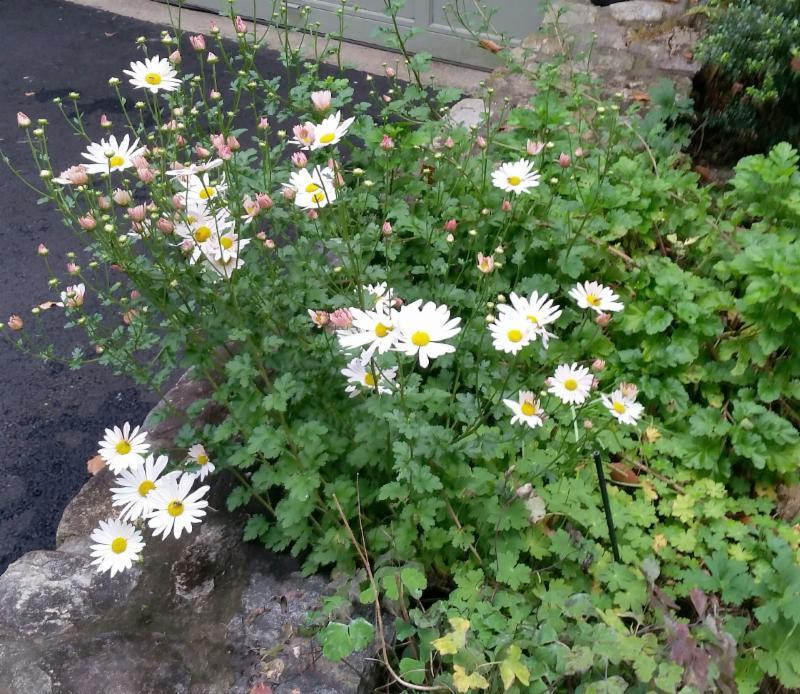 Sheffield daisy3