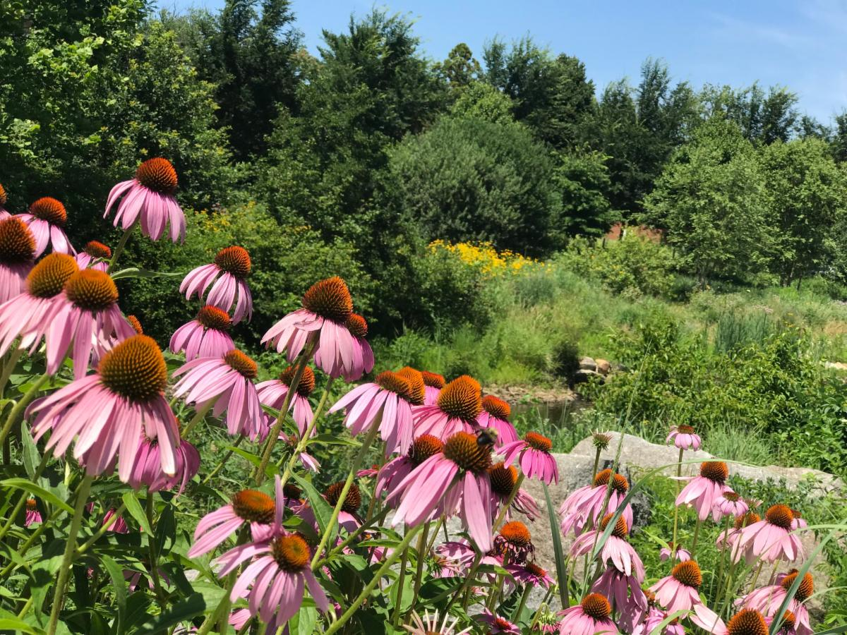 Mill River Part coneflowers