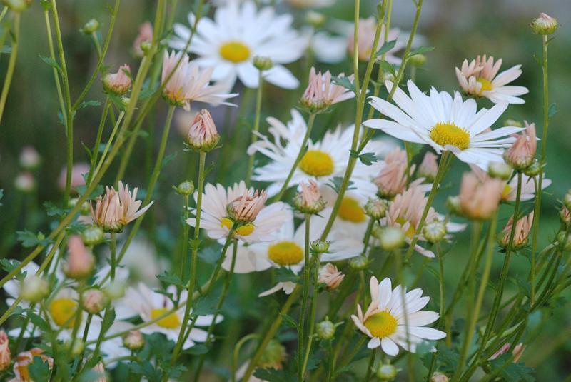 Sheffield daisy1
