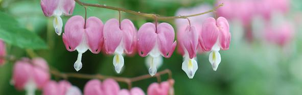 Bleeding Hearts cropped small
