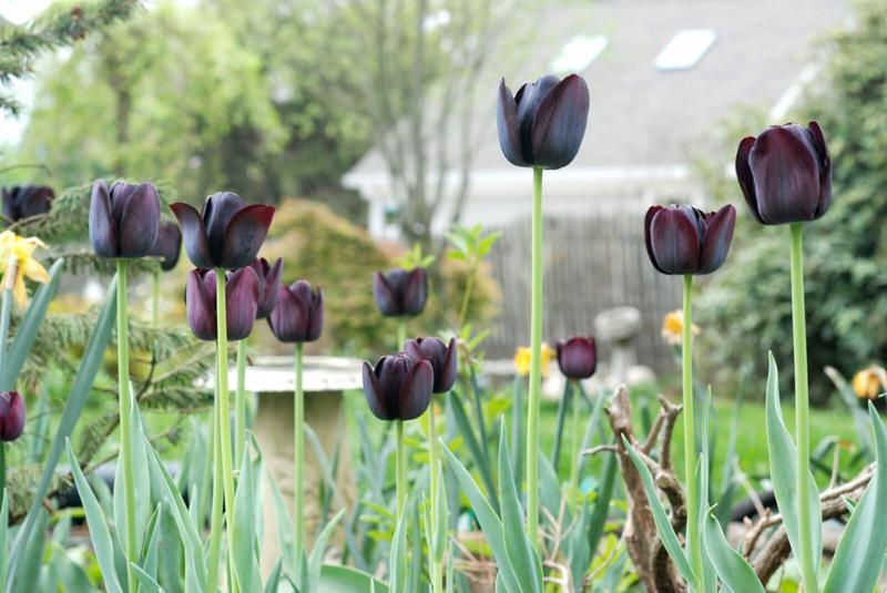 Bianca black tulips