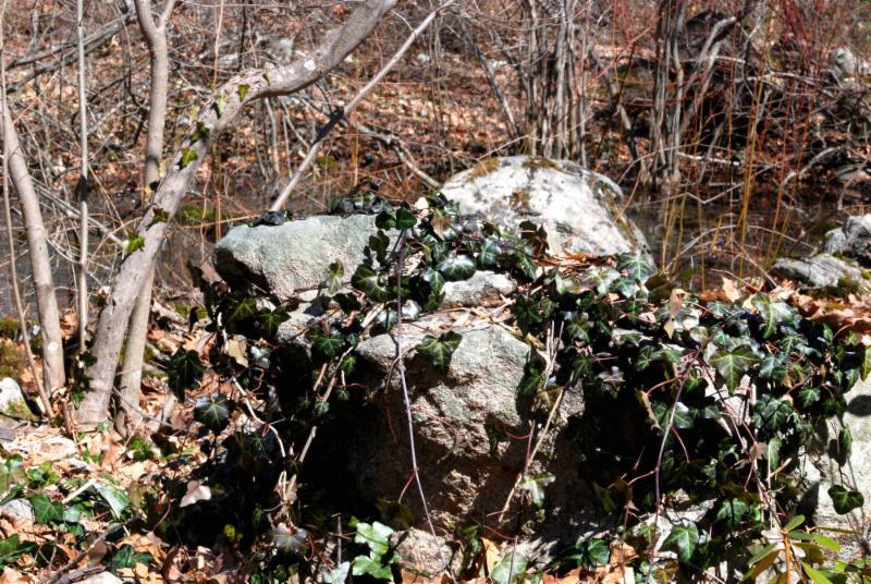 ivy covered rock lee garden