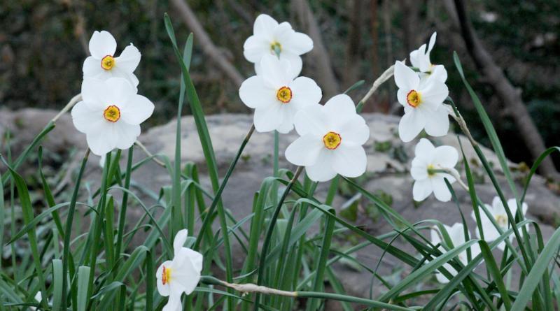 Daffodils Lee Garden