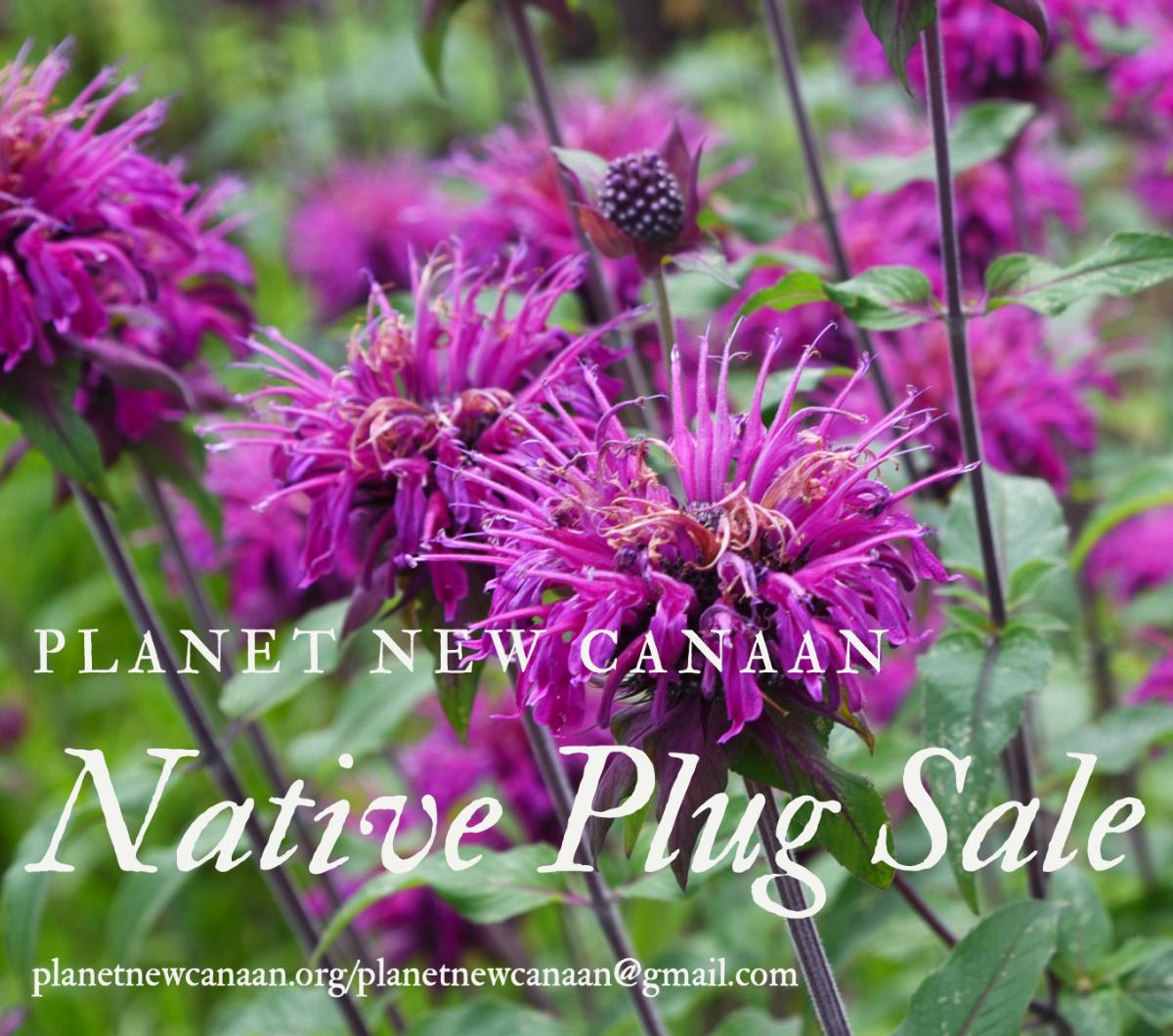 Native Plug Sale