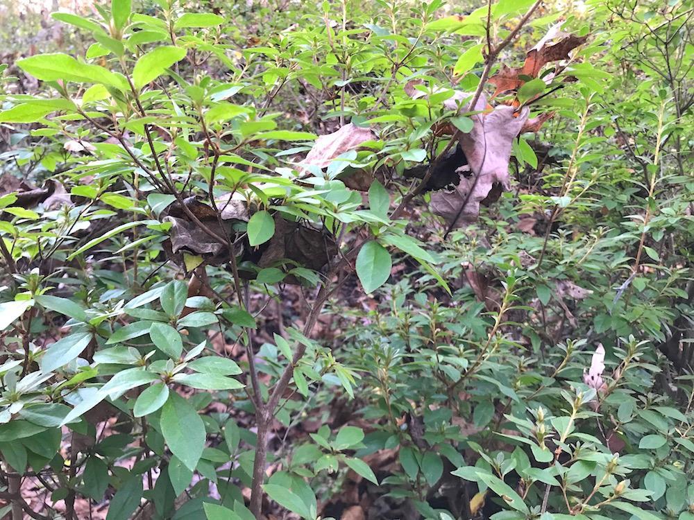 Leaves in azalea