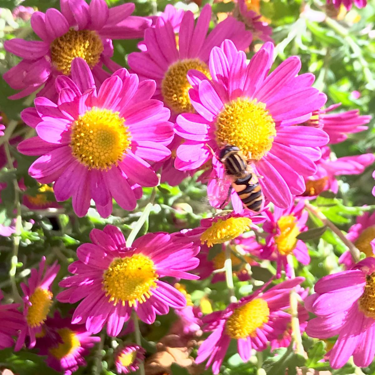 Aster or chrysanthemum