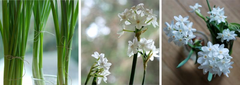 Forcing Bulbs trio