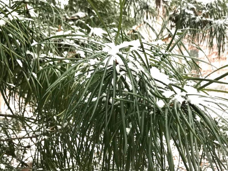 Umbrella Pine Lee Garden