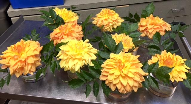 Dahlias at Waveny