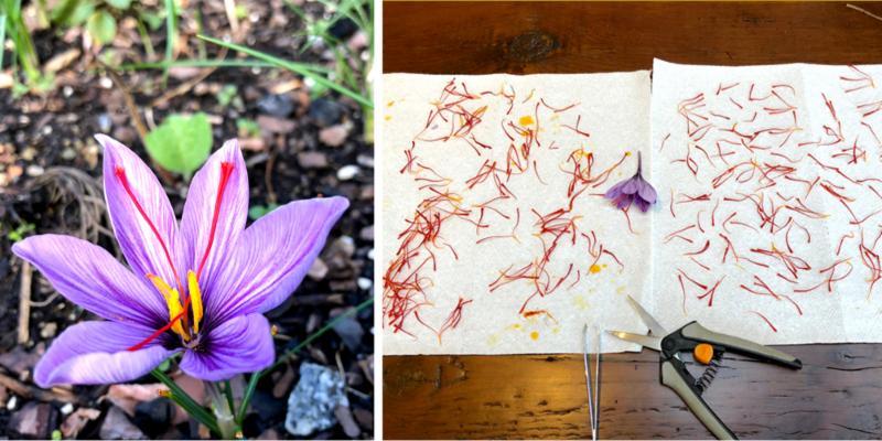 Crocus sativus Ty Tan