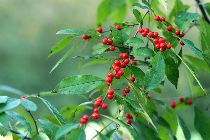 Winterberry Lee Garden