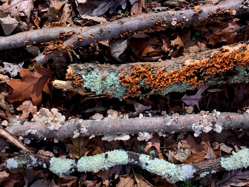 Lee Branches lichen and fungus