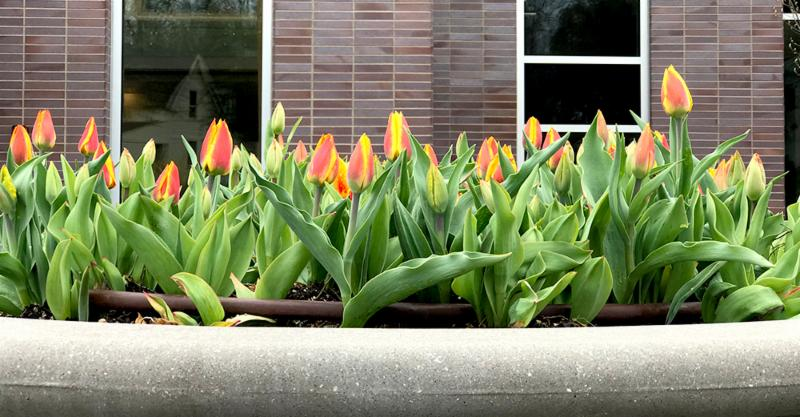 Town Hall tulips