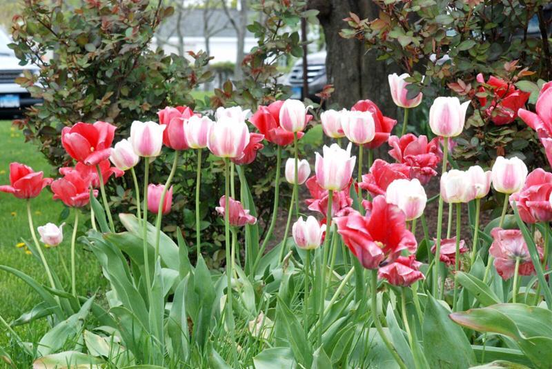 Center Bell Tulips