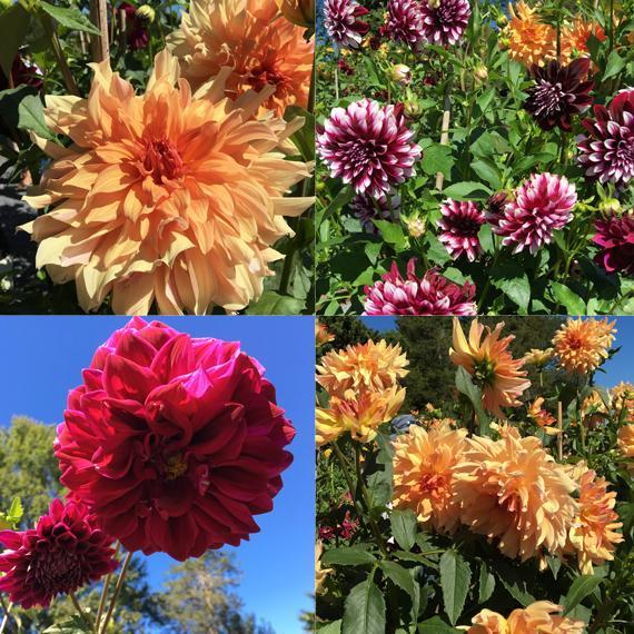 Meadowburn Farm Dahlia collage