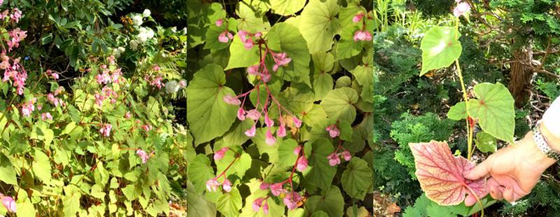 perennial begonia