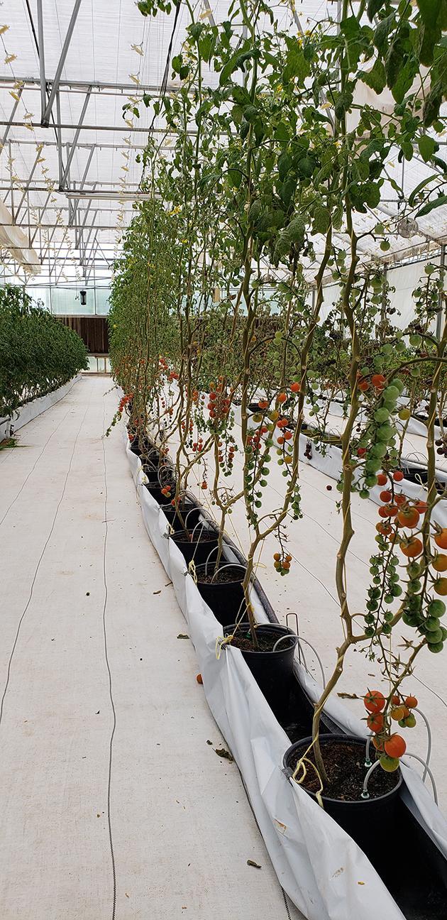 Cedar Spring Farms - Tomatoes - Cherry