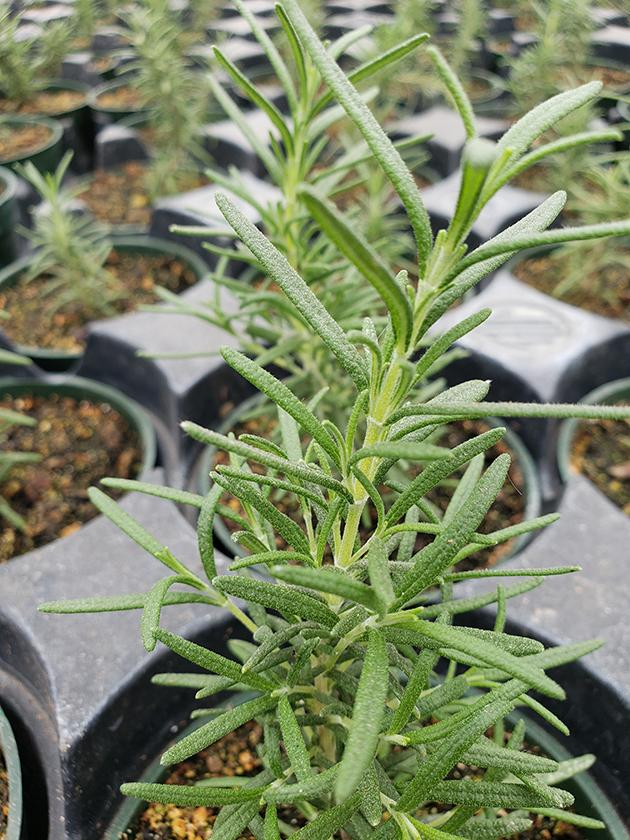 Spices-Rosemary